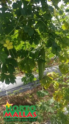 """HORTOMALLAS trellis net allows the plant to """"open up"""" and expand fully over the whole dimension of the espalier.  By doing so a greater percentage of polinization can be achieved as compared to crops grown on the ground."""