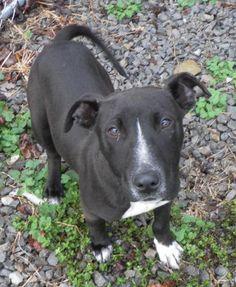 Super Urgent! PATRICK (6 MO 35 LB) GOOD W/DOGS has 2 Days Left to Live! http://www.dogsindanger.com/dog.jsp?did=1360108489955