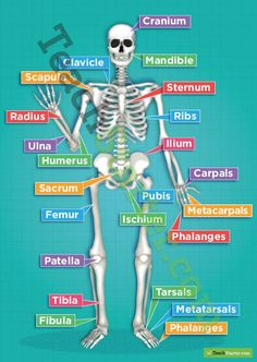 The Human Skeletal System Poster Teaching Resources Teach Starter Human Body Anatomy, Human Anatomy And Physiology, Yoga Anatomy, Nursing School Notes, Musculoskeletal System, Human Body Systems, Human Body Unit, Human Human, Medical Anatomy