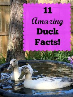 11 Amazing Duck Facts -- Ducks make a wonderful addition to any backyard farm. They are curious & friendly with such sweet little faces! You know they are super cute, but did you know these 11 Amazing Facts About Ducks? Backyard Ducks, Backyard Poultry, Backyard Farming, Chickens Backyard, Backyard Birds, Raising Farm Animals, Raising Ducks, Raising Chickens, Keeping Chickens