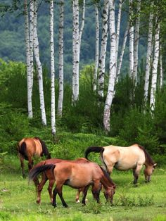 Kaidakogen, Nagano, Japan...love the white birch trees & horses. Be beautiful: www.joannanewkirk.nerium.com