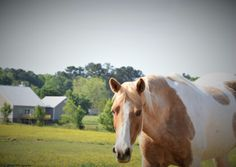 A Horse called Beauty by D.L.Tharpe Photography