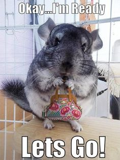 Chinchilla ready to shop.