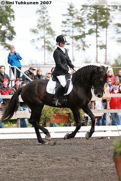 The black Finnhorse stallion Kuningas Ässä doing dressage Dressage Horses, Draft Horses, Different Horse Breeds, Winter Horse, Icelandic Horse, Mane N Tail, Horse Riding, Finland, Equestrian