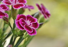 Summertime in the northern hemisphere is decorated by some of the most beautiful flowers you've seen. Dianthus Caryophyllus, Starting Seeds Indoors, Bild Tattoos, Most Beautiful Flowers, Seed Starting, Flowers Nature, How To Level Ground, Summer Flowers, Carnations