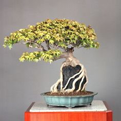 Types of Bonsai Trees - Shaping Aesthetics  http://www.bonsaiexperience.com/TypesofBonsaiTrees.html#