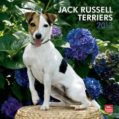 Jack Russell Terriers Wall Calendar: This dog breed is most commonly recognized as the perky dog Eddie on TV's Frasier. This dog breed has also appeared in other TV shows and movies such as Wishbone, The Mask, and My Dog Skip. The prolific Jack Russell also stars in this sensational wall calendar.  $14.99  http://calendars.com/Jack-Russell-Terriers/Jack-Russell-Terriers-2013-Wall-Calendar/prod201300004914/?categoryId=cat10107=cat10107#