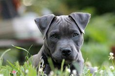 Cute little blue nose #Pitbull #dog #puppy