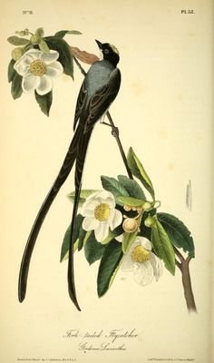 Fork-tailed Flycatcher. The birds of America : from drawings made in the United States and their territories v.1.  New York :J.B. Chevalier,1840-1844.  Biodiversitylibrary. Biodivlibrary. BHL. Biodiversity Heritage Library