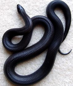 The beautiful Coluber constrictor, aka, Black Racer.