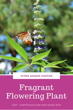 Lilac Chastetree, Monks Pepper Tree Vitex agnus-castus Beautiful Flowering TreeFeatures aromatic, compound, fragrant, lavender to pale violet flowers. Flowers are quite attractive to butterflies. Growing Seeds, Growing Tree, Kentucky Coffee Tree, Golden Chain Tree, Katsura Tree, Judas Tree, Plum Seed, Beauty Bush, Gardens