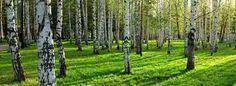Umea, Sweden, the city of Birch
