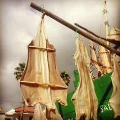Palmeiras e gatas, embarcação Sá Carneiro