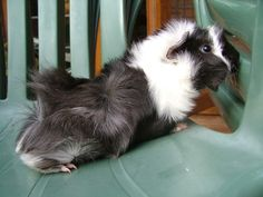 Abyssinian guinea pig. Almost looks like Chewy!