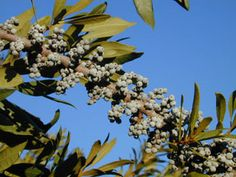 Wax myrtle (would need at least one female and one male plant for berries), 6-12 ft, evergreen, sun/part shade, fragrant blooms Apr-May, light blue berries in winter, attracts birds and butterflies.