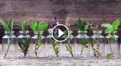 10 kruiden die je in water kunt laten groeien en altijd vers bij de hand hebt