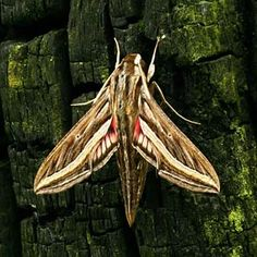 Silver-striped Hawk-moth Hippotion celerio (Adult)