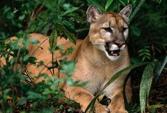 Florida Panther   Florida panther sits in the wild. (Art Wolfe / Getty Images)