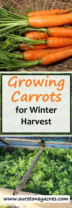 Growing Carrots for Winter Harvest is one of the best ways to enjoy this garden treat. All it takes is a little planning and some extra care in the fall! Growing Carrots, Growing Vegetables, Winter Vegetables, Organic Vegetables, Vegetables Garden, Garden Soil, Garden Care, Gardening For Beginners, Gardening Tips
