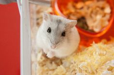 (zamax4) Tags: pet cute love beautiful animal jaula friend little dwarf cage mascot hamster russian mascota
