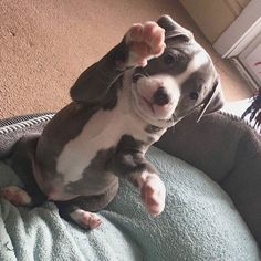 Pit Bull Puppies The 20 Most Adorable Pit Bull Puppy Pictures Ever 2018 2019 - Pitbull Lovers Cute Little Animals, Cute Funny Animals, Funny Dogs, Beautiful Dogs, Animals Beautiful, Majestic Animals, Amstaff Puppy, Cute Dogs And Puppies, Doggies