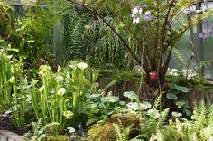 Utricularia reniformis, Oxford Botanic Garden.