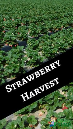 VIDEO: How Strawberries are Harvested. Get a behind the scenes look at how strawberries are harvested and packed by large commercial operations. Strawberry Fields, Santa Maria, Apocalypse, Strawberries, Harvest, Behind The Scenes, Commercial, Nerd, Vegetables