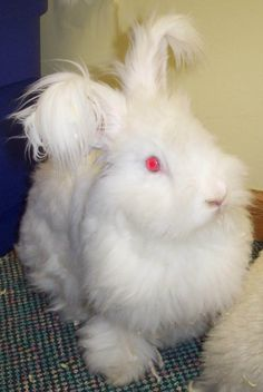 English angora rabbit- grooming this cute little guy produces fiber for beautiful yarn