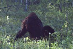Bigfoot Evidence: New Footage: A Trapper In Alberta Canada Took This Amazing Photo Of Bigfoot.