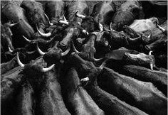Vacas bravas, de Oriol Maspons