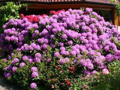 Rhododendron Catawbiense   Rhododendron 'Catawbiense Grandiflorum' - Rhododendron Hybride ...