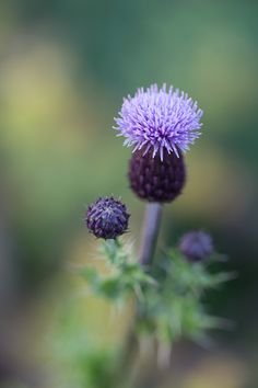 Creeping Thistle - pintrest (1 of 1)