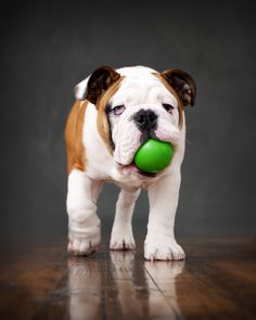 """Who wants to play?"" English Bulldog Dog Puppy Dogs Puppies"