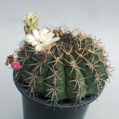 Gymnocalycium hamatum       FR 819  Palos Blancos, Tarija, Bolivia  ( Koehres seed 9011 )  ( ハマツム              FR 819 )      Koehres seed--ex Kousen en