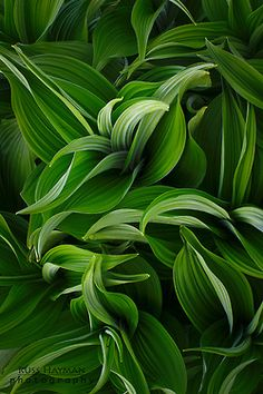 Hosta 'Summer Green'