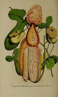 Raffles' Pitcher Plant - Nepenthes rafflesiana - a scrambling vine to 15 meters tall - large pitchers reach 20 cm in height, in the giant form pitchers can grow to 35 cm tall and 15 cm wide - Native to Malaysia, Sumatra, Borneo, and Singapore - circa 1855 Botanical Flowers, Exotic Flowers, Botanical Art, Vintage Botanical Prints, Botanical Drawings, Vintage Art, Plante Carnivore, Carnivorous Plants, Plant Illustration