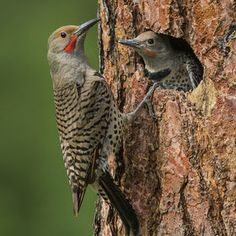 Northern Flicker (male) and chick