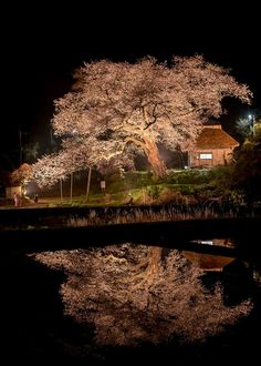 Cherry tree in Sado, Niigata, Japan   HETRM photography 法乗坊の種蒔き桜
