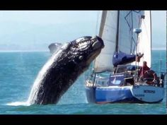 Whale Crashes into a Sail Boat! MUST SEE!