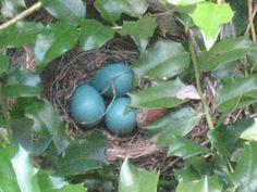 Beautiful Robin's eggs