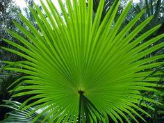 https://jungletropicale.com/2013/02/livistona-jenkinsiana/    #jardinage #palmiers
