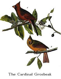 Audubon's Birds of America -- Northern Cardinal