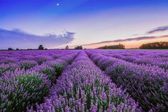Shop certified organic, Lavender High-Altitude essential oil from the 2016 industry leader. All farm direct, premium & pure oils also available in bulk!