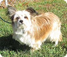 I'm being cared for by: Tri-Lakes Humane Society  Help me get seen & adopted!       Facts about Baby Girl Breed: Havanese Mix Color: Tan/Yellow/Fawn - With White Age: Adult Size: Small 25 lbs (11 kg) or less Sex: Female