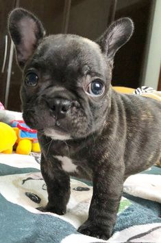 Adorable looking french bulldog puppy. #cutedogs #frenchbulldog #cutepuppy #cutepuppies #cutedog #frenchbulldogpuppy #frenchbulldogpuppies #puppy #puppies #dogs #dog #dogsofpinterest