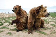 Rescued Grizzly Bear Couple...