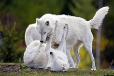 I had a white german shepard once, that was part timber wolf. He was beautiful. His name was Baron. These are probably some of his distant relatives.