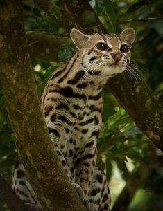 Margay Cat By: Jose Calvo