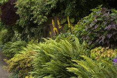 Western Sword Fern - Monrovia Polystichum munitum - CA Native Ferns Garden, Shade Garden Plants, Garden Shrubs, Landscaping Plants, Backyard Plants, Landscaping Ideas, Deer Resistant Garden, Sword Fern, Tall Shrubs
