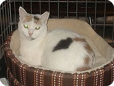 Woodbury, NJ - Calico. Meet Pickles, a cat for adoption. http://www.adoptapet.com/pet/11742163-woodbury-new-jersey-cat